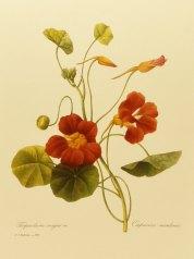 Nasturtium botanical illustration