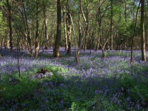 Bluebells bursting from below at Hockering Wood, once a bomb depot. Photograph by Lucy Denman.